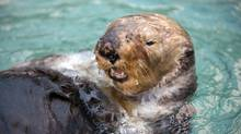 The sea otter swims at the Vancouver Aquarium Oct. 18, 2013. (HO)