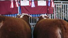Winning bulls wait in the barns at the The 113th annual Calgary Bull Sale. (Chris Bolin For the Globe and Mail)