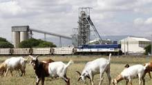 Goats graze outside Anglo Platinum's Khomanani shaft 1 mine in Rustenburg, northwest of Johannesburg Jan. 15, 2013. Workers at Anglo American Platinum will go on strike if the company goes through with a plan to close mines in South Africa's platinum belt, a labour leader said on Tuesday. (SIPHIWE SIBEKO/REUTERS)