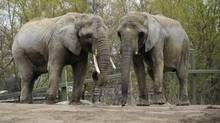 Toka, left, and Iringa, seen here May 1, 2012 at the Toronto Zoo, will move to a California sanctuary in October, along with a third elephant, Thika. (FRED LUM/THE GLOBE AND MAIL)