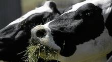 Almost every organic farmer in Canada grows alfalfa. The plant is an important source of animal feed and helps to rejuvenate the soil. (Justin Sullivan/Getty Images/Justin Sullivan/Getty Images)