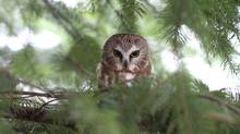 Susan Hollis sent us this shot of what she described as a rare Northern Pygmy Owl in the boughs of an evergreen along the shores of the Nexen Lands in Squamish, B.C. Another reader e-mailed to say it's a Saw-whet Owl. (Susan Hollis)