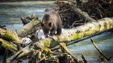 A grizzly cub picks away at a dead salmon on the Orford River up Bute Inlet in an area managed by the Homalco First Nation.