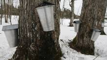 Tapped trees at a farm in Shefford, Que., on April 9, 2014. (Christinne Muschi For The Globe and Mail)