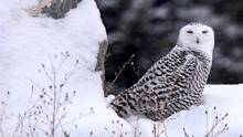 Snowy owls have lost 64 per cent of their numbers, a study has shown. (Michael Gallacher/THE ASSOCIATED PRESS)
