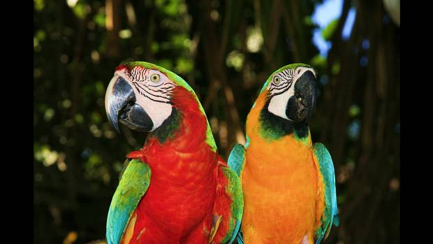 Parrots are being used by drug smugglers to warn them of nearby police.