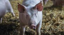 Russia's federal service for veterinary and phytosanitary surveillance says it will now only accept meat imports from 18 Canadian plants, compared with 60 that were approved prior to the new guidelines. The revised list includes 14 pork processing plants, three beef processing plants and one plant that processes both animals. It goes into effect on April 17. (Ian Willms for The Globe and Mail)