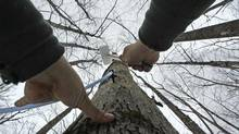Ben Fisk hammers a tap and collection tube into the trunk of a maple tree at a timber stand in New Hampshire in February, 2012. (Charles Krupa/AP)