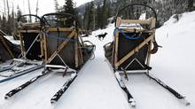 Framed by sleds, a sled dog runs to a kennel truck after returning from a tour run by Outdoor Adventures Whistler in the Soo Valley north of Whistler, B.C., on Monday January 31, 2011. (Darryl Dyck/ The Canadian Press/Darryl Dyck/ The Canadian Press)