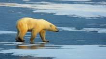 A polar bear walks on frozen tundra on the edge of Hudson Bay near Churchill, Man., in November of 2007. (PAUL J. RICHARDS/AFP/Getty Images)