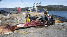 Workers from the Royal Ontario Museum begin dissection of a 24-metre (82 foot) blue whale in Woody Point, Newfoundland, May 8, 2014. The whale is likely one of a group of blue whales that died several weeks ago in heavy ice off Newfoundland's Western coast and is now emitting an odor that's hard to ignore. (GREG LOCKE/REUTERS)
