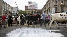 Dairy farmers walk with their cows past milk that was thrown on the street during a protest against the Trans-Pacific Partnership (TPP) trade agreement in front of Parliament Hill on September 29, 2015. (CHRIS WATTIE/REUTERS)