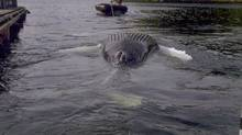A dead humpback whale is seen floating near Tofino, B.C., in this March 27, 2013, handout photo. (Handout/The Canadian Press)