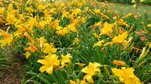 Look at all the daylillies (there are about 50,000 registered varieties).