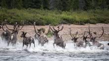 Labrador's George River caribou herd. (VALERIE COURTOIS)