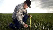 Alberta farmer Dwayne Marshman measures the hight of his wheat crop, which should be at his waist, on his farm in the Canadian prairies near Rockyford, Alta. (Todd Korol/Reuters/Todd Korol/Reuters)