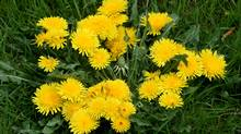 Patches of dandelions. (Deborah Baic/The Globe and Mail)