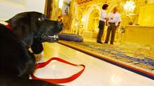 Black lab Catie Copley, canine ambassador at The Fairmont Copley Plaza hotel, takes a break after a walk, Saturday, July 1, 2006 in Boston. (LISA POOLE/AP)