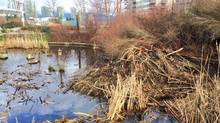 A beavers home in a restored marshland near Vancouver's Olympic Village, along the picturesque False Creek. (Geordon Omand/THE CANADIAN PRESS)