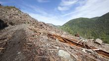The remains of freshly cut old growth cedar forests are seen on Vancouver Island, B.C., on Sept. 29, 2011. (JONATHAN HAYWARD/THE CANADIAN PRESS)