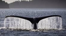 A Humpback whale feeds off Gil Island, in Northern B.C. October 2, 2010. (John Lehmann/The Globe and Mail/John Lehmann/The Globe and Mail)