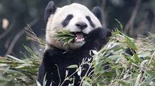 Panda Er Shun eats bamboo at the Panda House at the Chongqing Zoo in Chongqing, China Saturday February 11, 2012. Two giant pandas including Er Shun will call Canada home for the next 10 years. (Adrian Wyld/The Canadian Press)