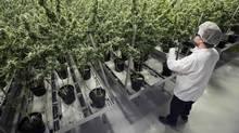 This file photo taken on December 5, 2016 shows Tweed employee Ryan Harris trims plants inside the Flowering Room with medicinal marijuana at Tweed INC. in Smith Falls, Ontario. (LARS HAGBERG/AFP/Getty Images)