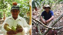 A Peruvian farmer with the CEPICAFE Co-op holds recently picked cocoa pods (L). A Peruvian farmer with the CACVRA Co-op is shown among a group of cocoa trees (R). Both are co-ops in Peru from which La Siembra sources its cocoa. (COURTESY OF LA SIEMBRA CO-OPERATIVE)