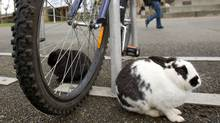 Some of the hundreds of feral rabbits who make their home at the University of Victoria. (GEOFF HOWE/Geoff Howe for The Globe and Mail)