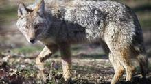 This coyote was seen at Cherry Beach in Toronto in April 2012. (Kevin Van Paassen/The Globe and Mail)