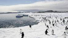 Adelie penguins walk on the ice at Cape Denison in Antarctica, in this December, 2009, file photo. (Reuters)