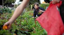 Victoria City council candidate Lisa Helps removes calendula plants and other species with volunteers at the Haultain Common, a public garden area in Victoria, BC. (Chad Hipolito/The Globe And Mail/Chad Hipolito/The Globe And Mail)