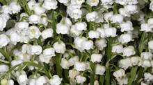 Sprigs of lily of the valley (Jacky Naegelen/Reuters)
