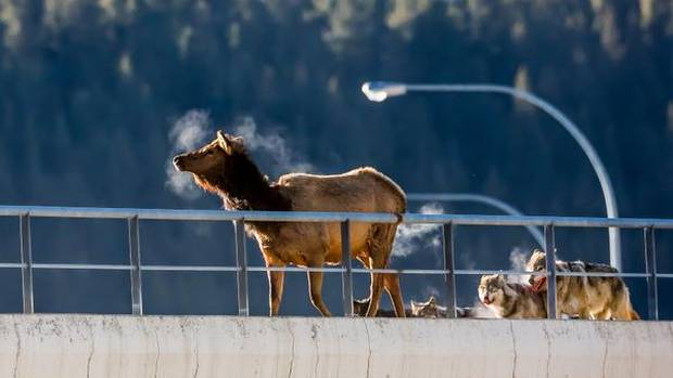 Wolf attack an elk on an overpass in Banff National Park.