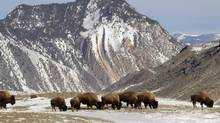 A group of bison graze in Yellowstone National Park near Gardiner, Mont. The park is trying to reduce the number of animals that migrate annually into Montana. (Ted S. Warren/AP)