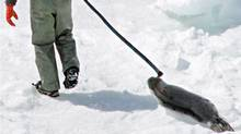 A hunter drags a harp seal along an ice flow in the Gulf of St. Lawrence during the April, 2005 hunt. (JONATHAN HAYWARD/Jonathan Hayward/The Canadian Press)