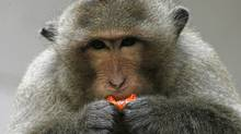 A macaque monkey eats a candy in the town of Lopburi, north of Bangkok. (Chaiwat Subprasom/Reuters)