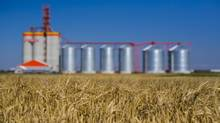 Wheat crops next to grain elevators on a farm in Stirling, Alta. (Chris Bolin For The Globe and Mail)