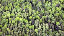 Could this forest yield airplane fuel and plastics? (Moe Doiron/The Globe and Mail)