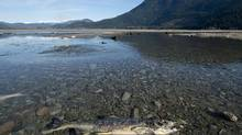 A dead salmon in the Harrison River near Harrison Mills, B.C. Wednesday, Nov. 21, 2013. A report from the provincial ombudsman says the B.C. government is falling short in monitoring its own environmental regulations. (JONATHAN HAYWARD/THE CANADIAN PRESS)