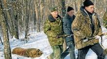 """Specialists of the """"Tiger"""" Special Inspection Organisation investigated the case of killing an Amur tiger - a rare species listed in the International Red Book. (Sayapin Vladimir/ Itar-Tass Photos/Newscom/Sayapin Vladimir/ Itar-Tass Photos/Newscom)"""