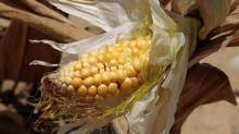 Higher prices for corn and other feedstocks devastated by the U.S. drought will push up the cost of milk, eggs, beef, poultry and pork, according to the U.S. Department of Agriculture. (JOHN SOMMERS II/REUTERS)