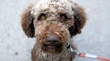 Oskar, a standard poodle, is seen at the ninth annual Woofstock festival in Toronto on Sunday, June 12, 2011. (Matthew Sherwood/Matthew Sherwood for The Globe and Mail)