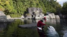 Trainer Indy Canagaratnam feeds beluga whale Kavna at the Vancouver Aquarium. Research-and-rescue work on dolphins and whales at the Vancouver Aquarium could suffer if the facility ended its captivity program. (JONATHAN HAYWARD/THE CANADIAN PRESS)