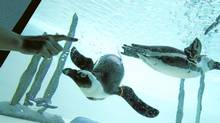 African penguins swim in their new enclosure, and interact with African Savannah Keeper Deserrai Buunk at the Toronto Zoo on May 19, 2011. (Peter Power/The Globe and Mail/Peter Power/The Globe and Mail)