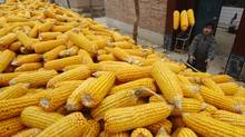 A farmer stores corn in a container, to sell them in a market, in his courtyard on the outskirts of Changzhi, Shanxi province. (© Stringer Shanghai / Reuters/Reuters)