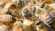 A queen bee is surrounded by protective worker bees in a hive at the Tugwell Creek Honey Farm and Meadery west of Sooke. (GEOFF HOWE/The Globe and Mail)