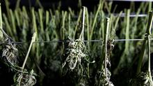 In this Oct. 12, 2016, photo, recently harvested marijuana buds dry at a farm near Garberville, Calif. (Rich Pedroncelli/AP)