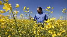 Wade Barnes, founder of Farmers Edge, inspects a crop of canola just south of Winnipeg. (JOHN WOODS/JOHN WOODS FOR THE GLOBE AND MAIL)