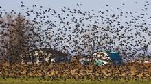 Thousands of starlings, amassing before migrating south, fly in swarms above the fields, and Highway 55 that leads into Niagara-on-the-Lake, and wine country. Local governments in the Okanagan Valley are continuing to target the birds in an effort to protect the region's orchards. (Peter Power/The Globe and Mail)